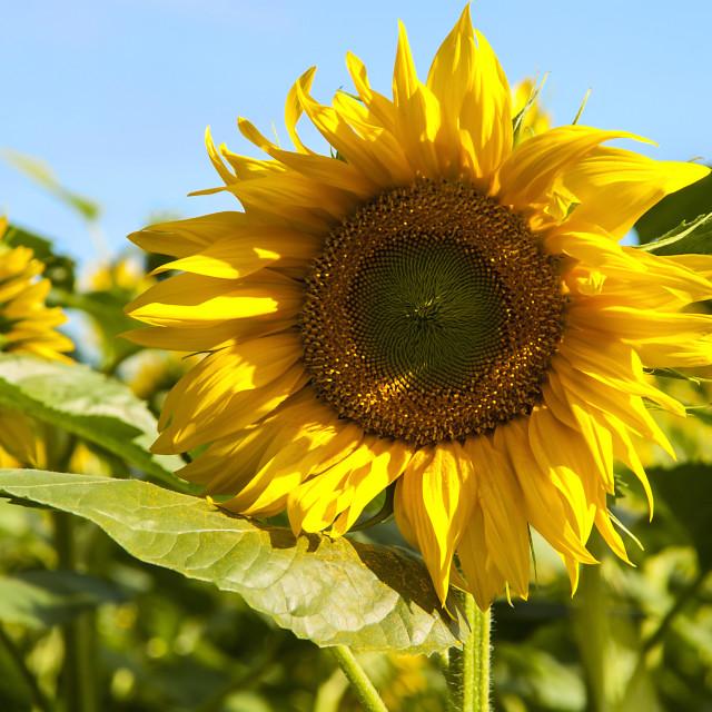 """Sunflower in the sun."" stock image"