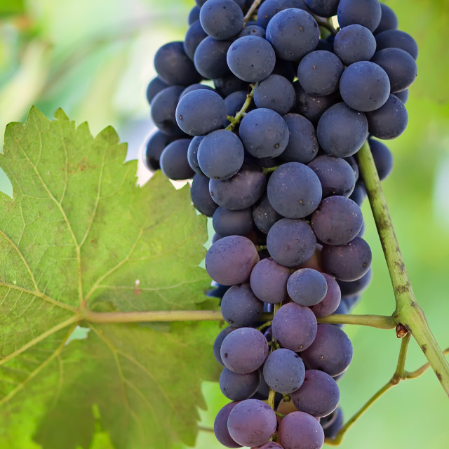 """""""Black and ripe grapes"""" stock image"""