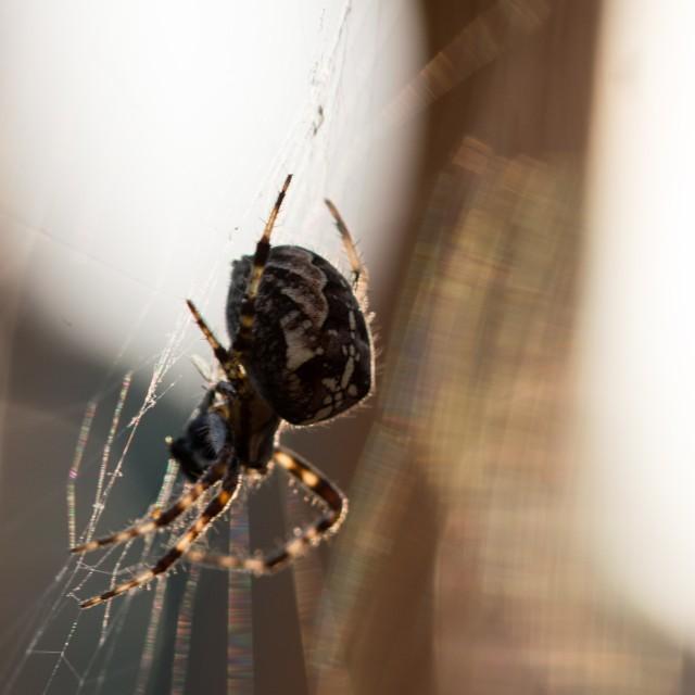 """Sunset Spider"" stock image"