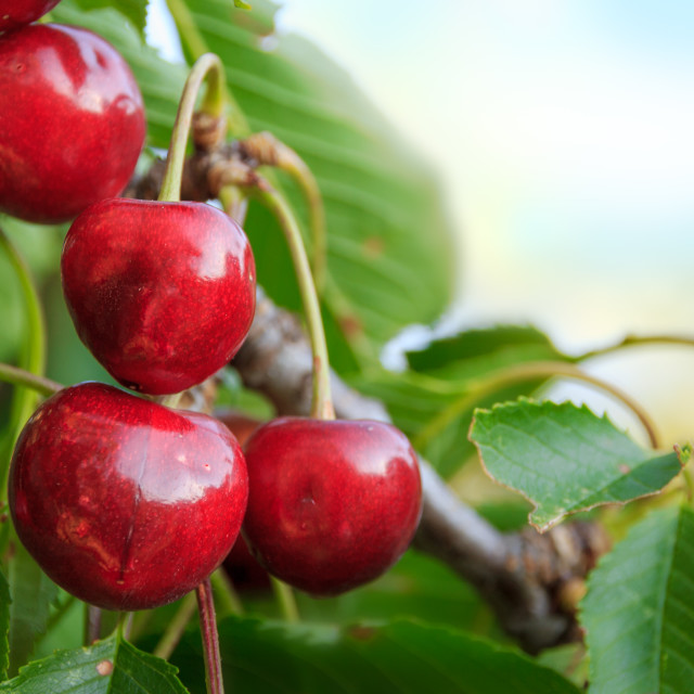 """Cherries on a tree"" stock image"