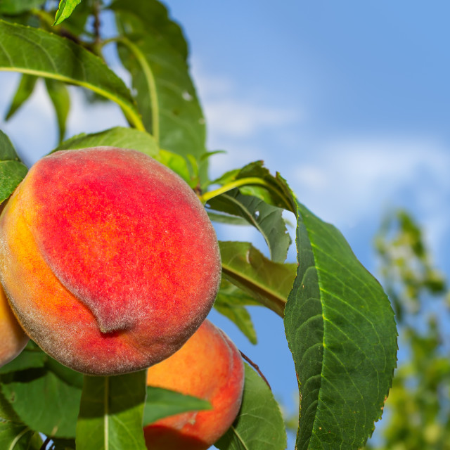 """Juicy organic peaches on a tree"" stock image"