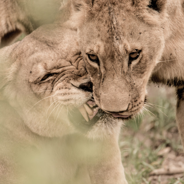 """Lions in Love"" stock image"