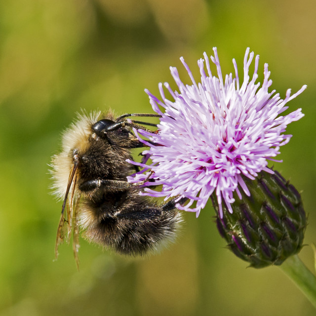 """Bumble Bee on Thistle Head"" stock image"