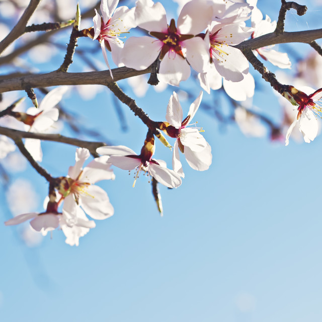 """Flowering almond tree branch"" stock image"
