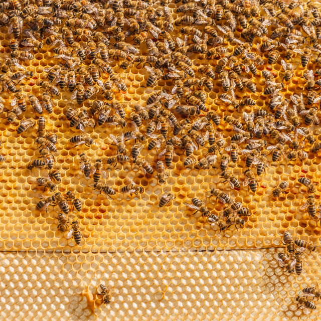 """Bees working on honeycomb"" stock image"
