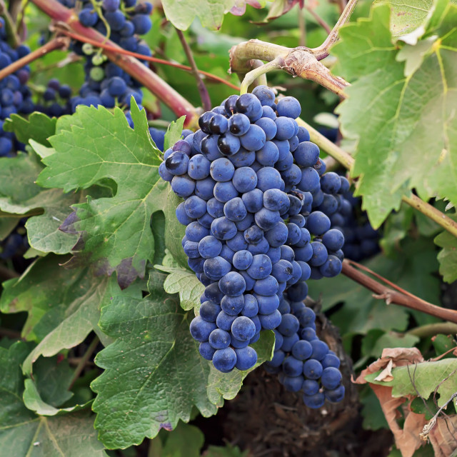 """Vine and ripe grapes"" stock image"