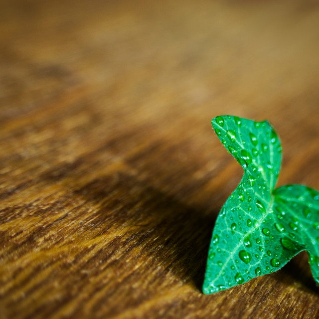 """wet leaf ivy"" stock image"
