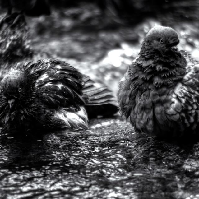 """Bathe Dip Pigeons"" stock image"