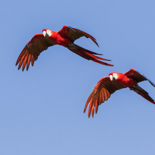 """Scarlet macaws flying by"" stock image"