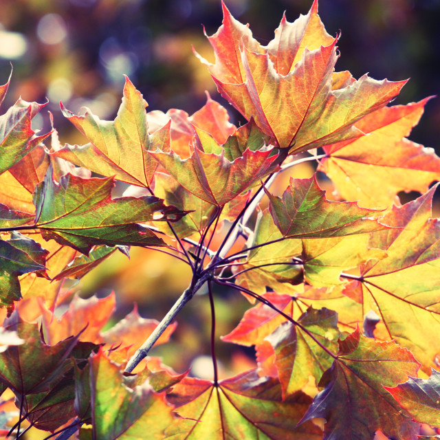 """""""Maple leaves in autumn"""" stock image"""