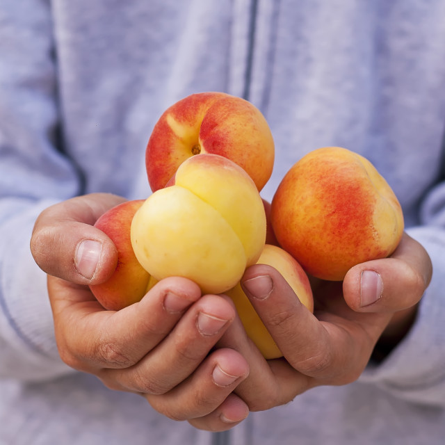 """Handful of delicious apricots"" stock image"