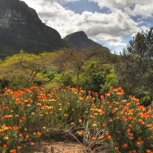 """Kirstenbosch National Botanical Gardens 2"" stock image"