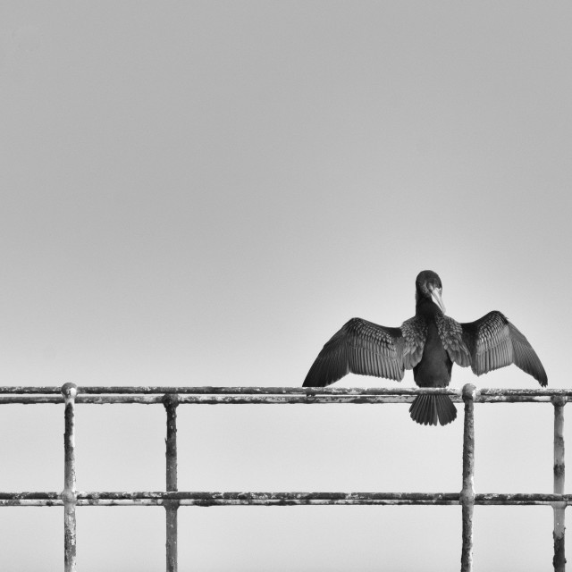 """""""Cormorant"""" stock image"""