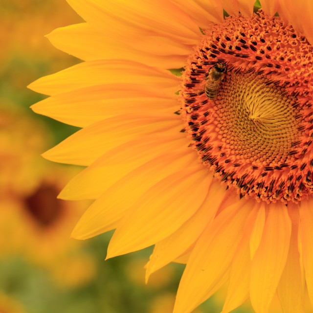 """Bee on a Sunflower"" stock image"