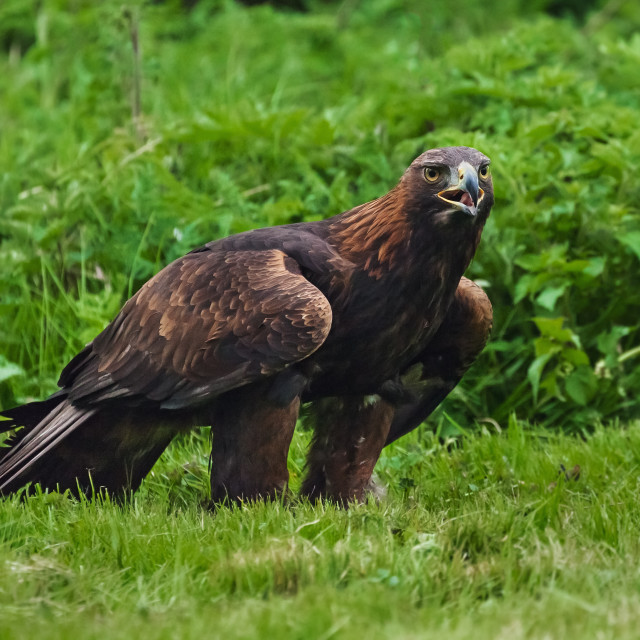 """Angry golden eagle"" stock image"