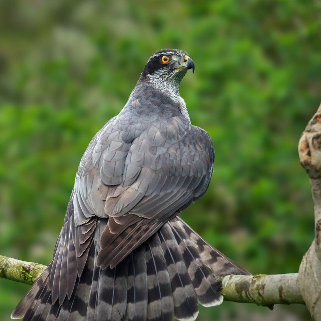 """Goshawk displaying its tail"" stock image"