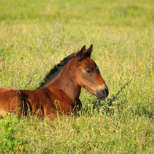 """horse brown foal lying in pasture"" stock image"