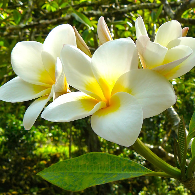 """Plumeria flowers"" stock image"