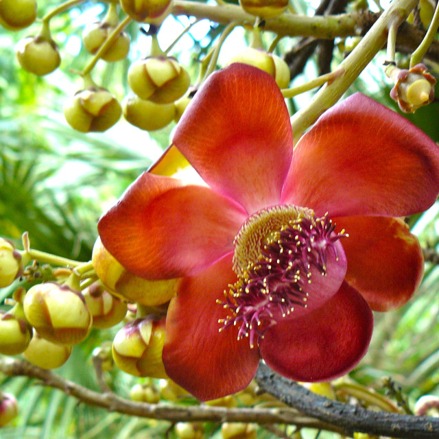"""""""Cannonball tree flower"""" stock image"""