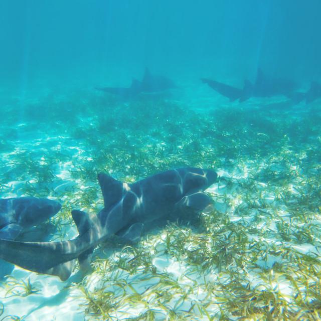 """Caribbean coral sharks"" stock image"