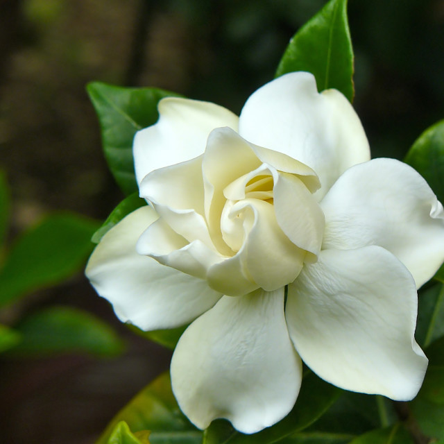 """Gardenia flower"" stock image"