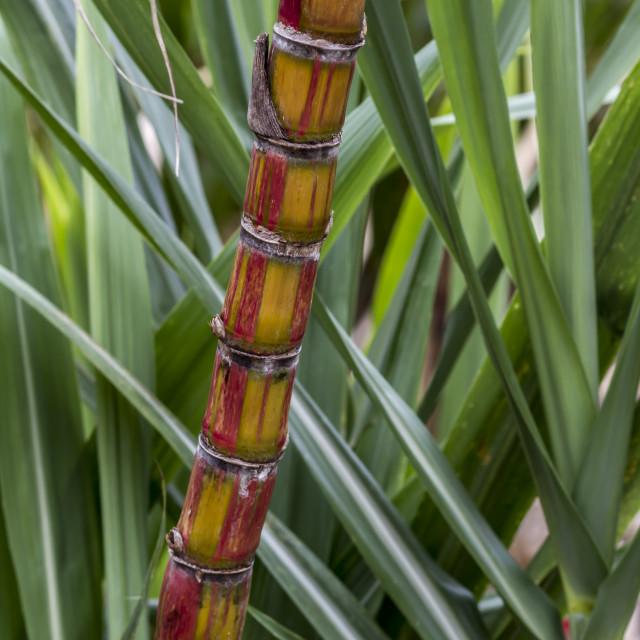 """Sugar cane"" stock image"