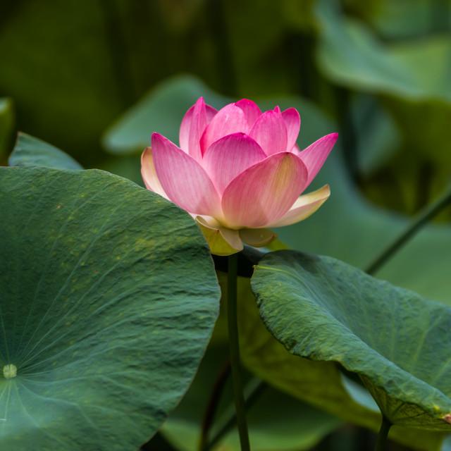 """Lotus blossom"" stock image"