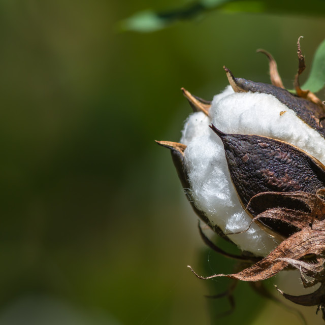 """Cotton flower"" stock image"