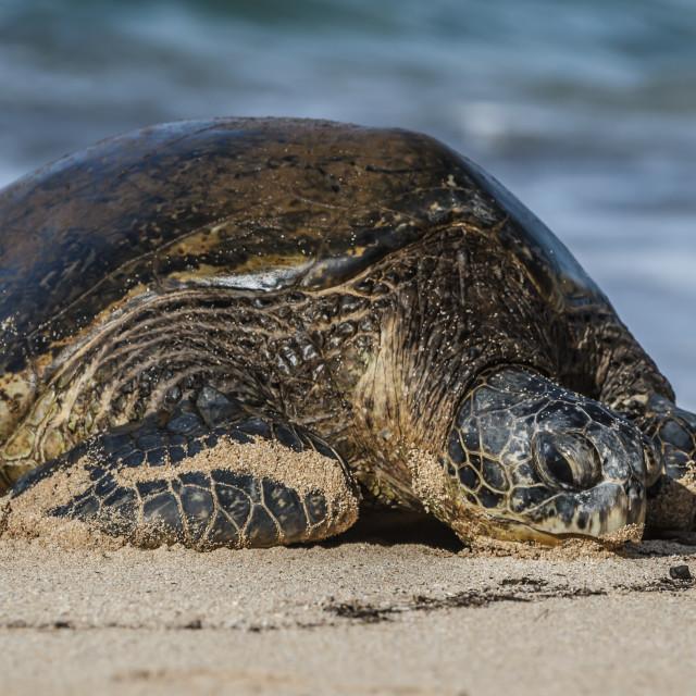 """Hawaii sea turtle on the beach"" stock image"