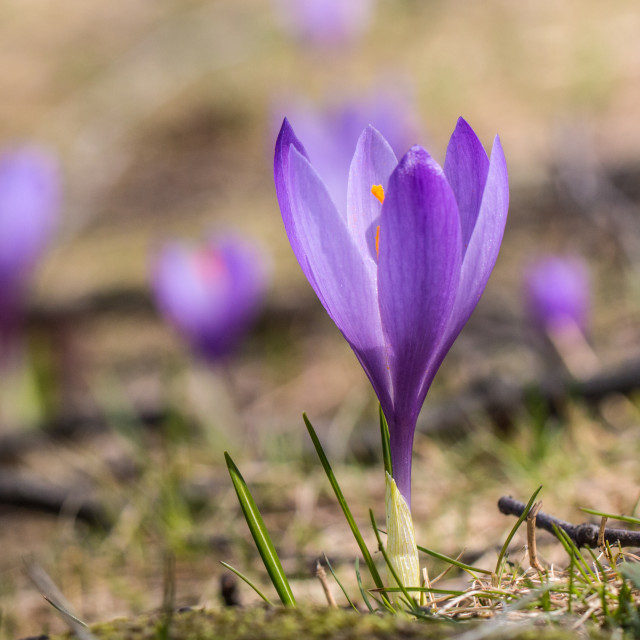 """Beautiful early spring wild flower"" stock image"