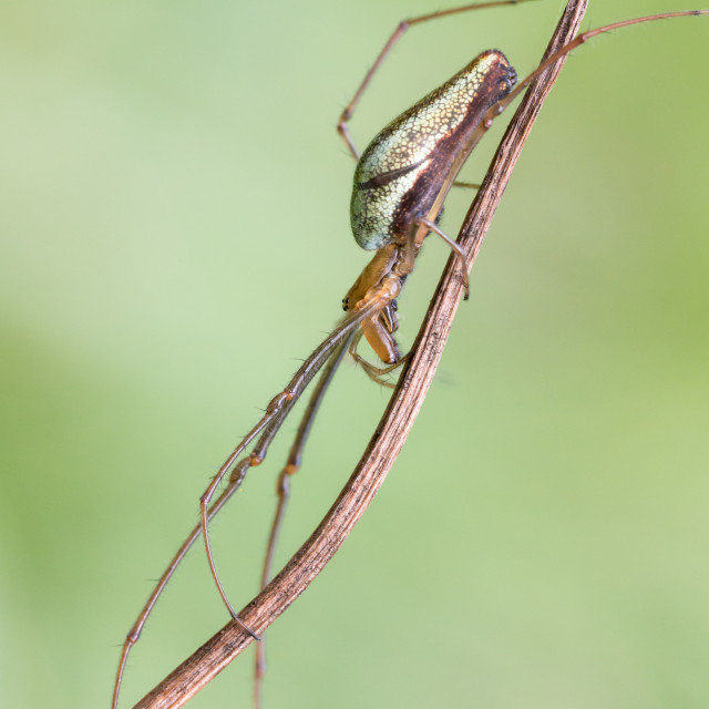 """Long-jawed Orb Weaver"" stock image"