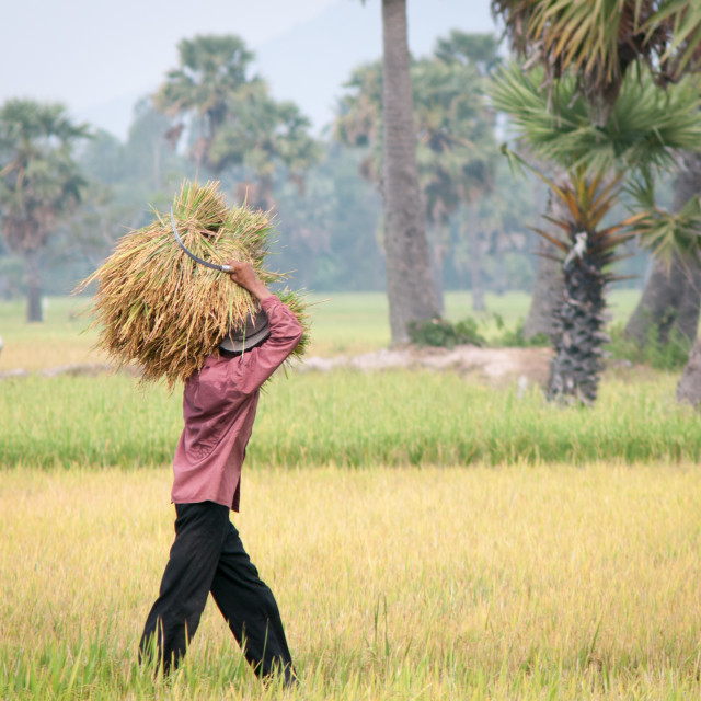 """Portrait of Vietnamese farmer working on the rice"" stock image"