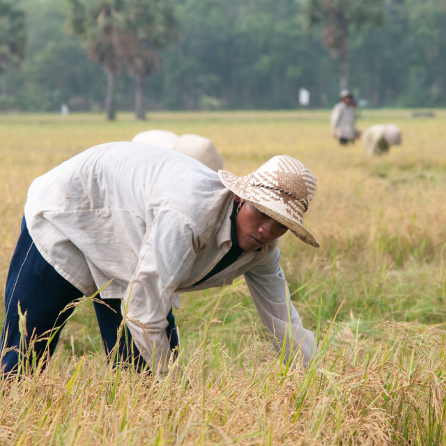 """""""Portrait of Vietnamese farmer working on the rice"""" stock image"""