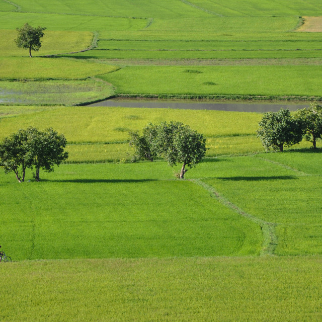 """""""Paddy rice field in southern Vietnam"""" stock image"""
