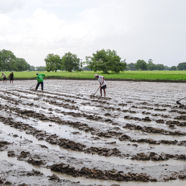 """""""Farmers plowing the rice fields"""" stock image"""