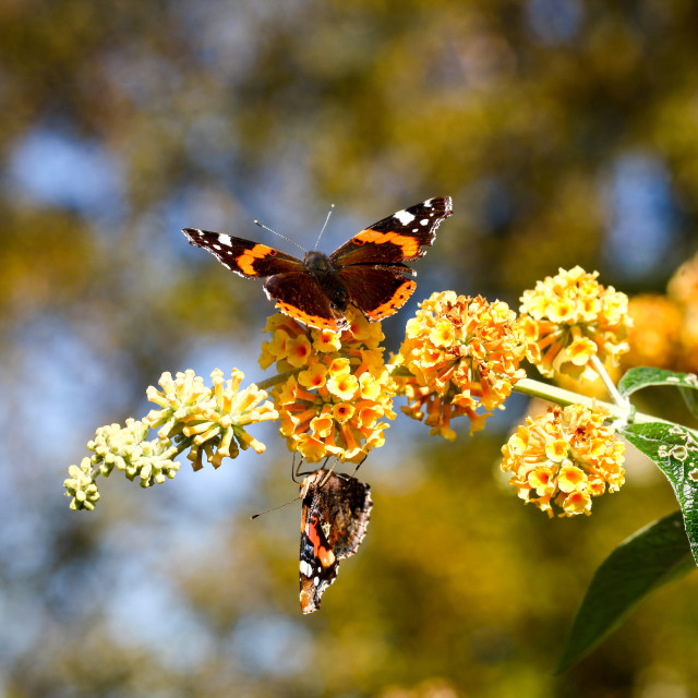 """Two Red Admiral Butterflies"" stock image"