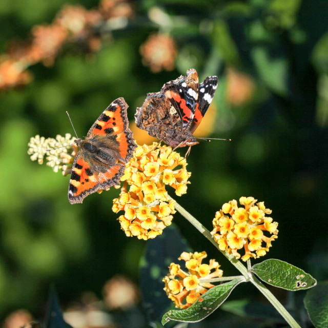 """A Red Admiral and a Small Tortoiseshell butterfly"" stock image"
