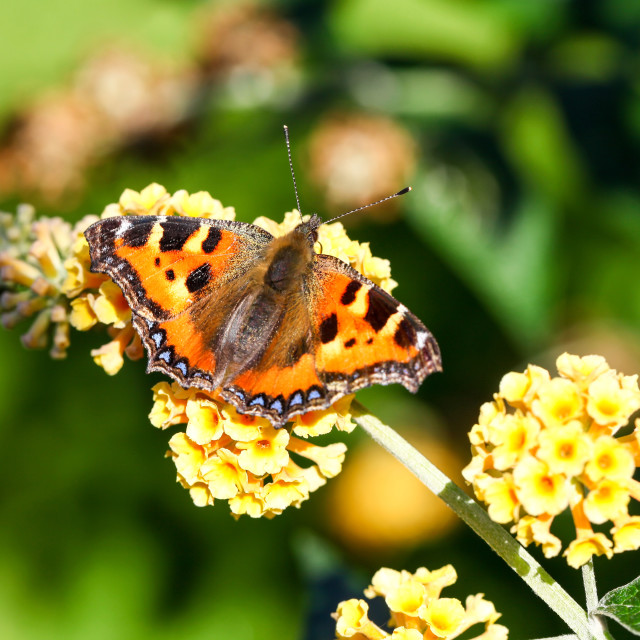 """A Small Tortoiseshell butterfly"" stock image"