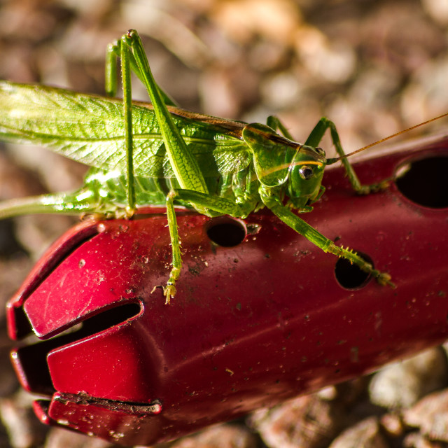 """Grasshopper On A Gardening Tool"" stock image"
