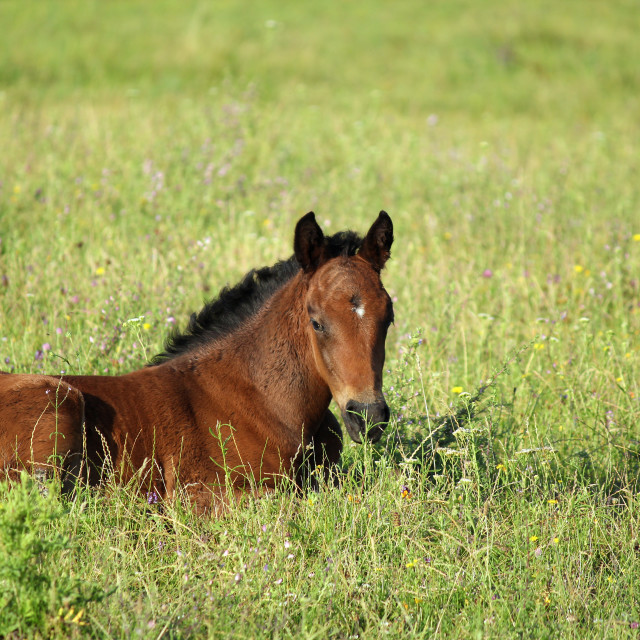 """horse foal in summer pasture"" stock image"