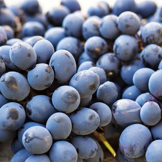 """""""Black ripe grapes"""" stock image"""