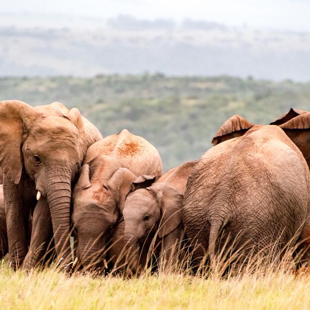 """""""Elephant Huddle"""" stock image"""