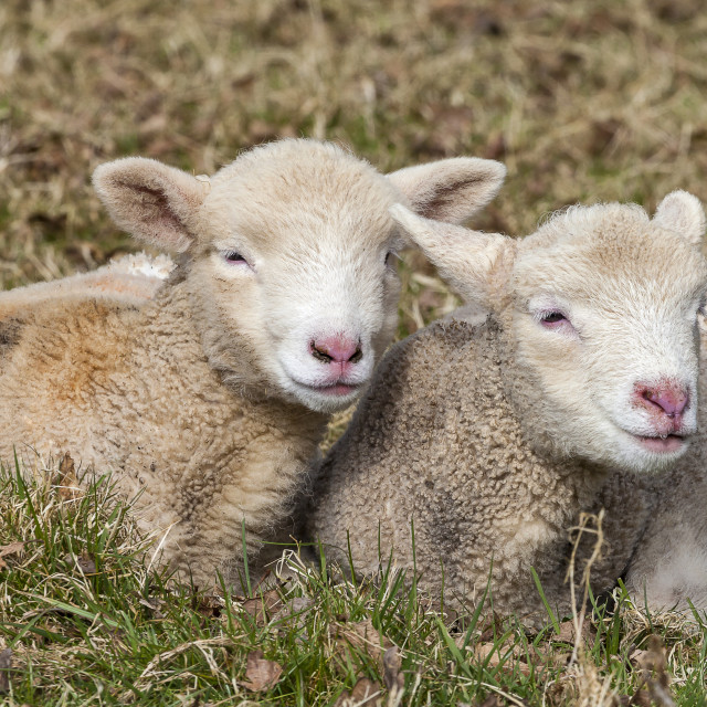 """Two Little Lambs"" stock image"