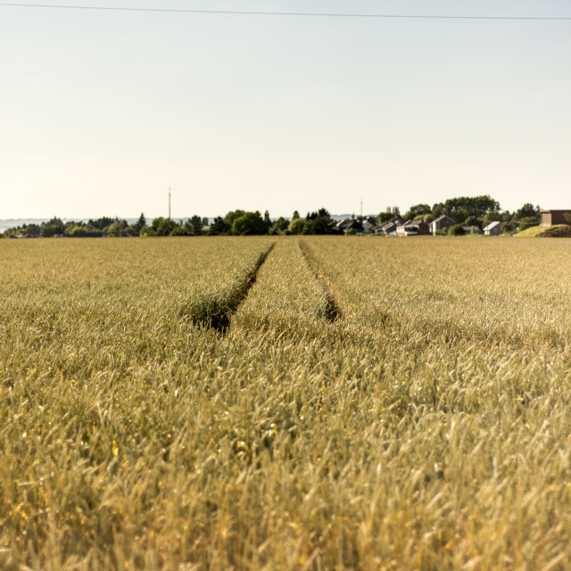 """Wheat field with farmers tracks"" stock image"
