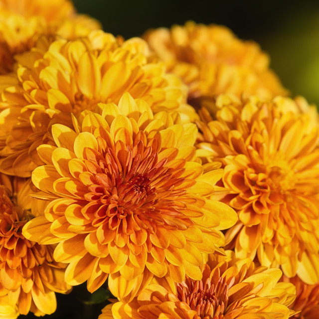 """Autumn Mums or Chrysanthemums in bloom"" stock image"