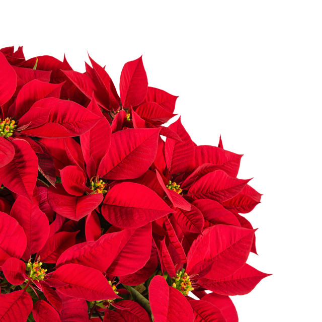 """Red poinsettia flower (Euphorbia pulcherrima)"" stock image"