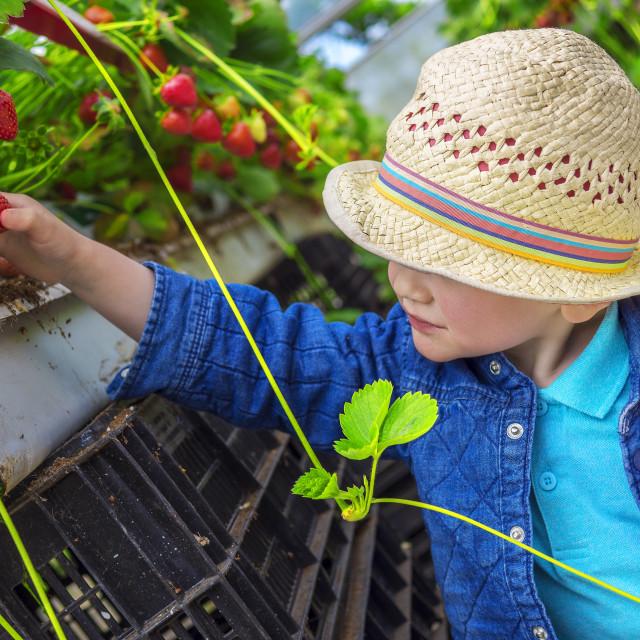 """Little child picking strawberries"" stock image"