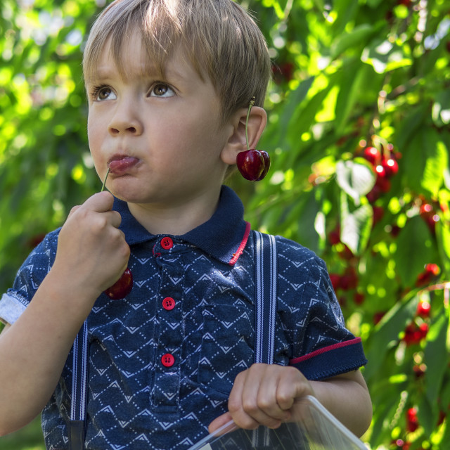 """Little boy picking and eating cherries"" stock image"