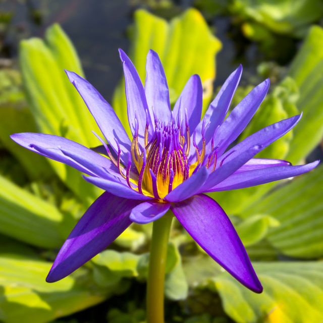 """""""Waterlily in the Pond"""" stock image"""
