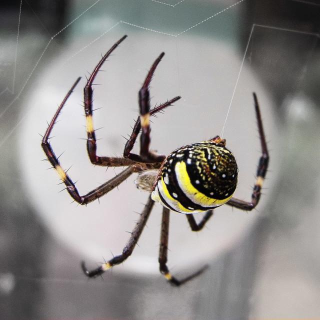 """St Andrews Cross Spider"" stock image"
